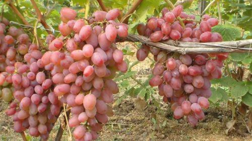 Крупные грозди сорта Юлиан висят на кусте