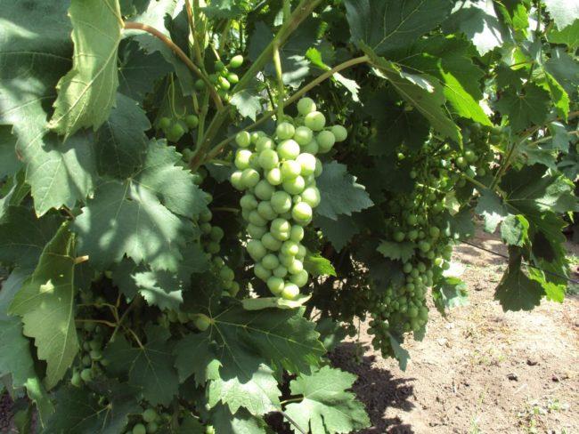 Виноградный куст с темно-зелеными листьями и гроздь в начале срока плодоношения