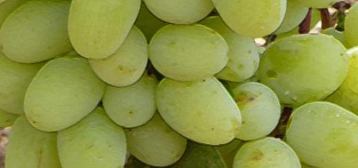 Спелая гроздь винограда Супер Экстра вблизи