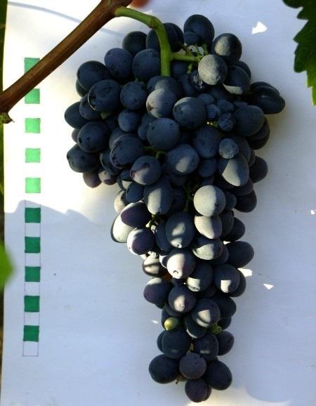 Виноградная кисть сорта Аттика крупным планом, пурпурно-синие ягоды с толстой кожицей и легким налетом
