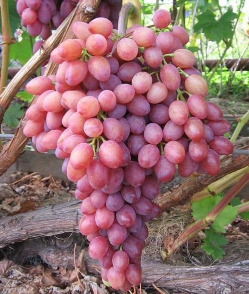 Гроздь спелых ягод винограда сорта любительской селекции Юбилей Новочеркасска