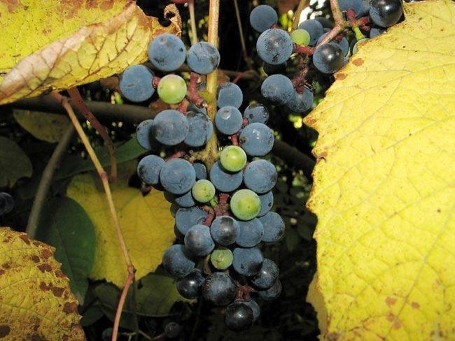 Гроздь полудикого винограда с синими и зелеными ягодами, и желтые листья
