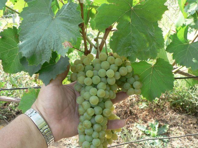 Крылатая кисть винограда технического сорта Цитронный Магарача в руке винодела