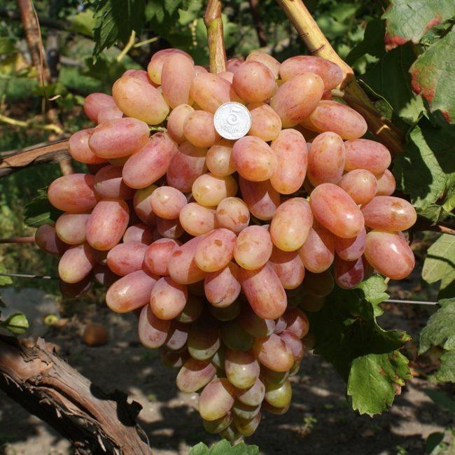 Объемная кисть межвидовой гибридной формы винограда Преображение и монетка