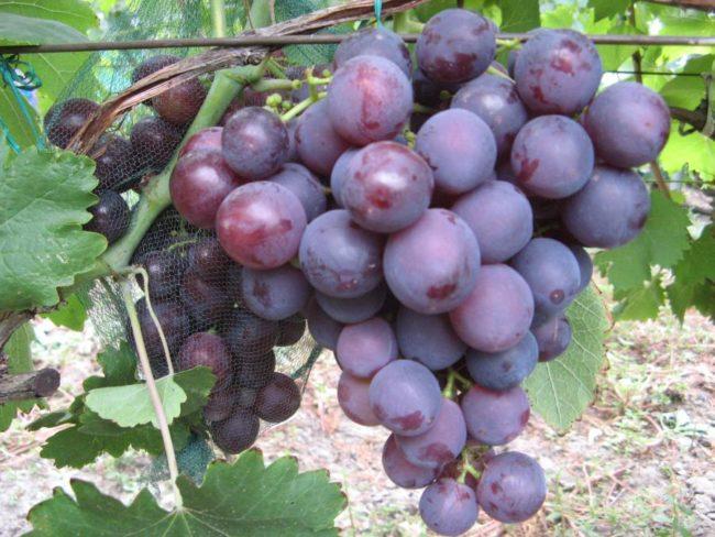 Гроздь винограда сорта Рошфор с ягодами красновато-синего цвета и сетка для защиты от ос