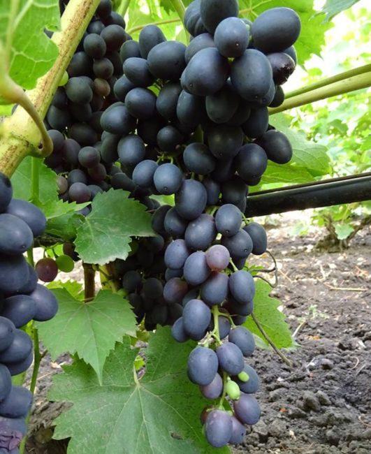 Крупная кисть спелого винограда сорта Аттика с пурпурно-синими плодами и черная труба шпалеры