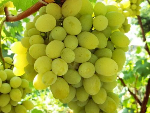 Большая гроздь винограда с крупными ягодами