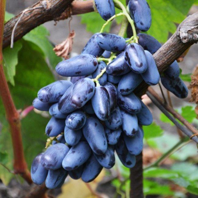 Гроздь винограда сорта Ромбик висит на ветке