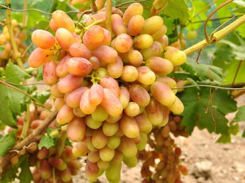 Крупная гроздь винограда с ягодами сорта Юлиан