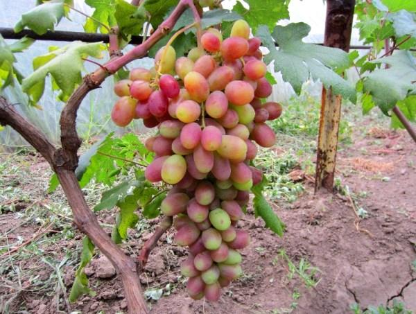 Крупная виноградная кисть сорта Сенсация на трехлетнем кусту и труба шпалеры