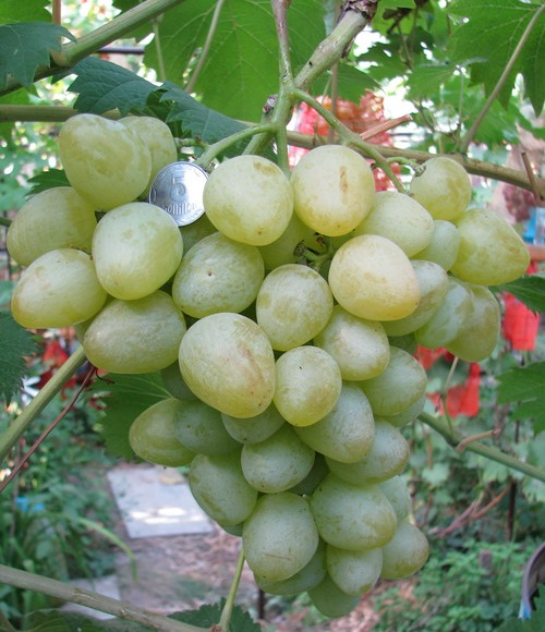 Кисть спелого винограда гибридной формы Монарх, ягоды весом в 20–40 грамм