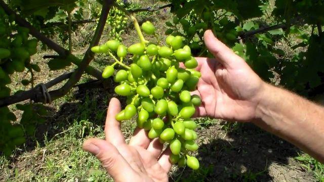 Рыхлая кисть винограда Виктория в начале роста ягод и руки садовода
