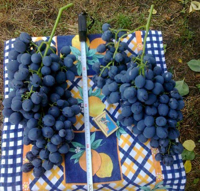 Две крупные кисти винограда, спичечный коробок и измерительная рулетка
