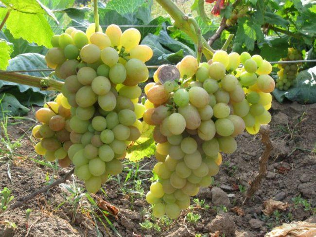 Две созревающие грозди на ветке винограда столового сорта Тасон и монетка с цифрой пять