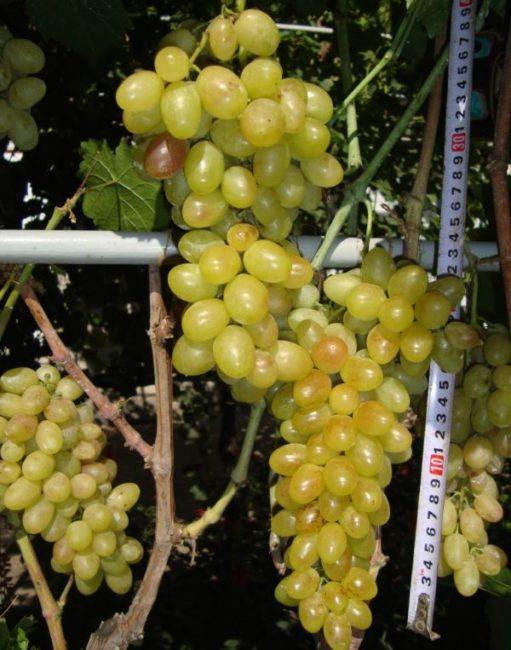 Грозди конической формы винограда Тасон с плодами желто-зеленого окраса и рулетка