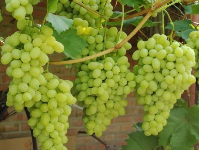 Грозди зеленого винограда столового гибридного сорта на крепких ветках в частном саду