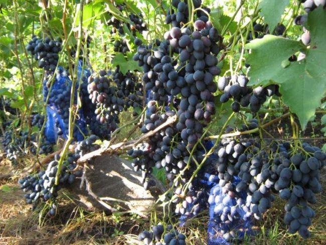 Куст винограда с ненормированной нагрузкой лозы и крупные кисти созревающих ягод
