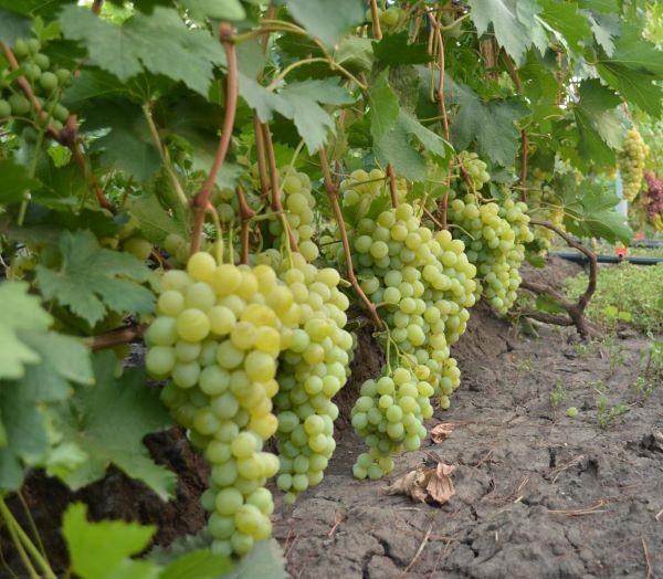 Грозди винограда на кусту гибридного сорта Ванюша средне-раннего срока созревания