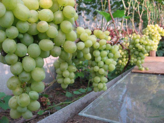 Виноградные грозди с зелеными ягодами на лозе, выращенной в Саратовской области