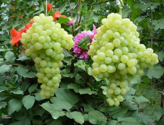 Две крупные грозди с виноградной лозы гибридного сорта Кишмиш 342 от венгерских селекционеров
