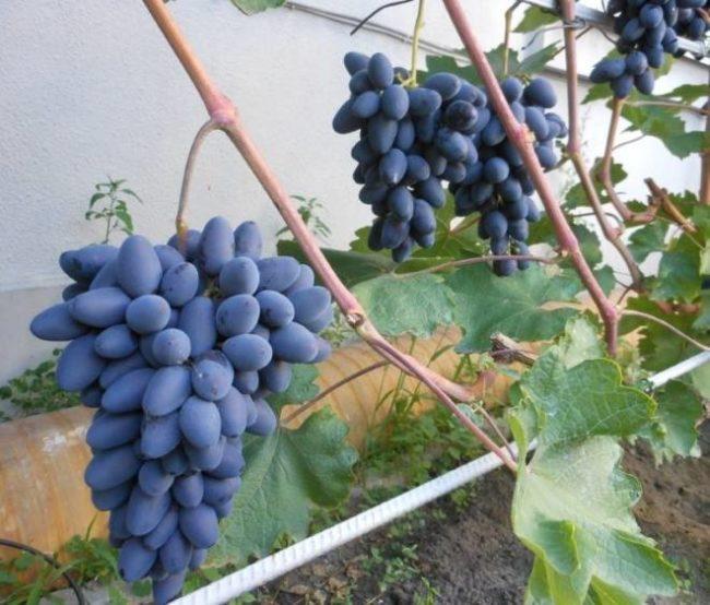 Виноградная лоза с гроздьями на шпалере вдоль стены капитального здания