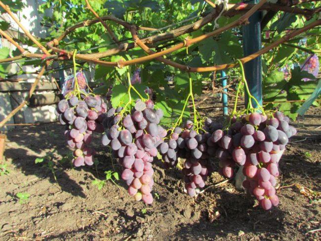 Одеревеневшие ветви и кисти созревающих ягод винограда, растущего у садовода Воронежской области