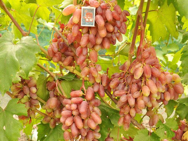 Виноградная лоза с гроздьями спелых розовых ягод вытянутой формы и спичечный коробок