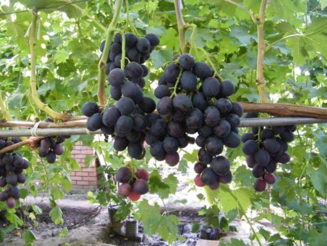 Виноградная лоза на шпалере и небольшие кисточки ягод фиолетового окраса