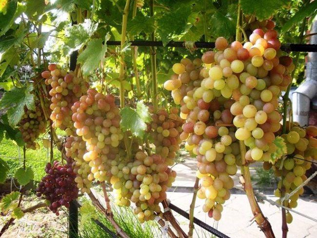 Виноградная лоза на шпалере из металлической арматуры и кисти созревающих ягод