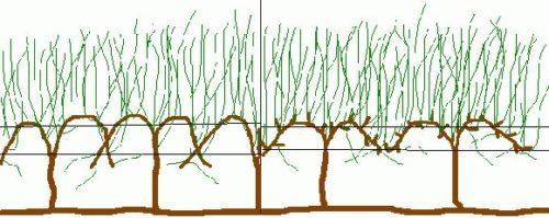 Схема излишне уплотненной виноградной лозы с затемнением значительного количества веток растения