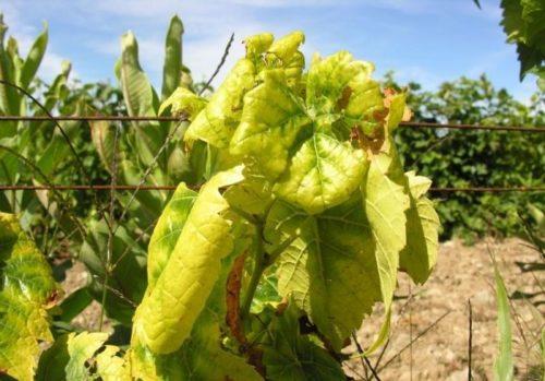 Скрученные и пожелтевшие листья винограда под воздействием инфекционного хлороза