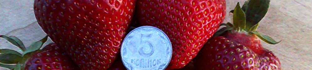 Спелые плоды клубники Хоней в сравнении с монеткой