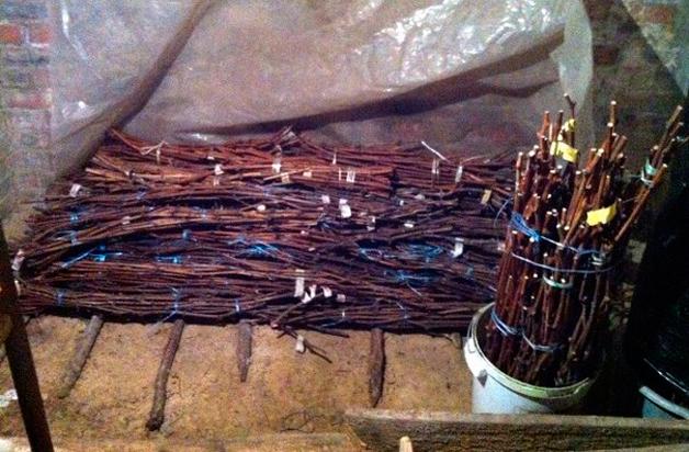 Черенки винограда, связанные пучками и размещенные в погребе под полиэтиленовой пленкой