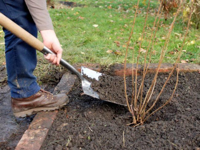 Саженец крыжовника ранней весной, добавление питательного грунта в приствольный круг куста