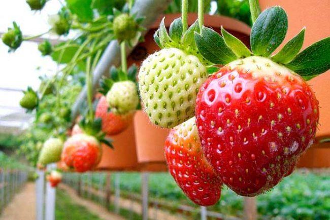 Крупная ягода клубники, выращиваемой в теплице в подвесных горшках
