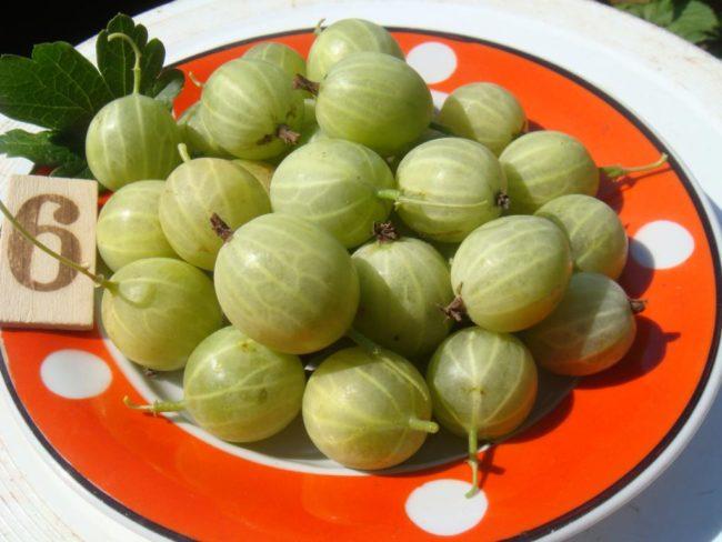 Горстка крупных ягод крыжовника Берилл на тарелке с оранжевой окантовкой