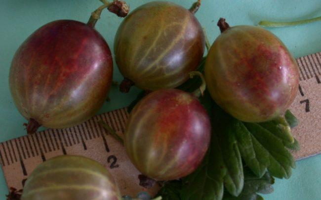 Размеры крупных плодов крыжовника сорта Финик советской селекции