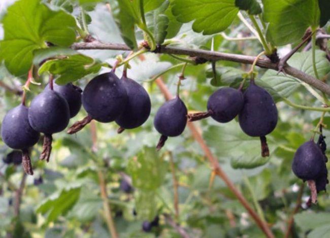 Колючая ветка шиповника Черный Негус и спелые плоды иссиня-черного цвета