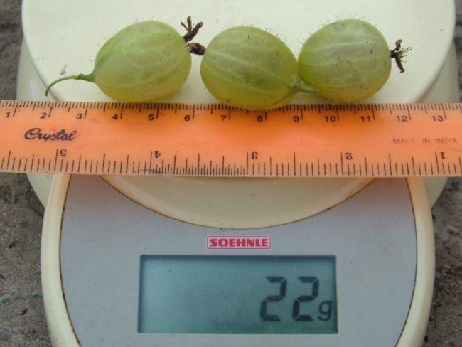 Вес и размеры трех спелых ягод крыжовника сорта Инвикта, цифровые весы бытового класса и линейка