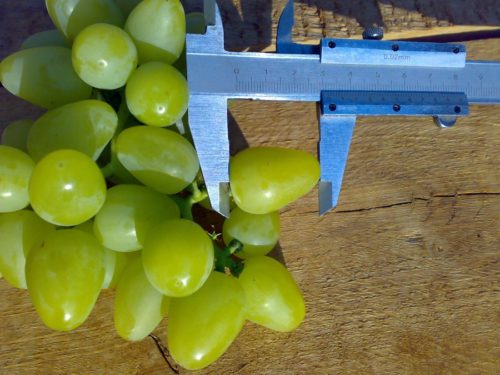 Размер спелых плодов винограда столового сорта Аркадия и штангенциркуль