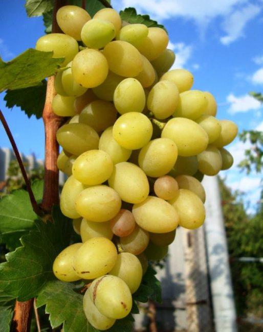 Гроздь винограда сорта Гелиос вблизи, ягоды желтоватого оттенка в начале срока созревания