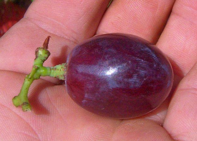 Крупная ягода винограда сорта Памяти Учителя на ладони садовода