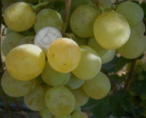 Плоды винограда гибридного сорта Ванюша вблизи и монетка среди них