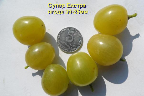 Размеры плодов винограда сорта Супер Экстра тридцати сантиметров в длину