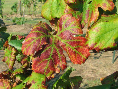 Изменение цвета листьев винограда под действием апоплексии