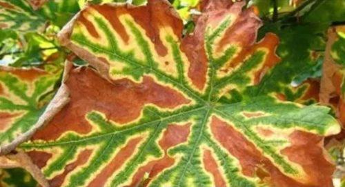 Виноградный лист с желтоватыми и коричневыми пятнами в острой стадии поражения эской