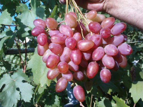 Спелая гроздь на кусту винограда сорта Юбилей Новочеркасска раннего срока созревания