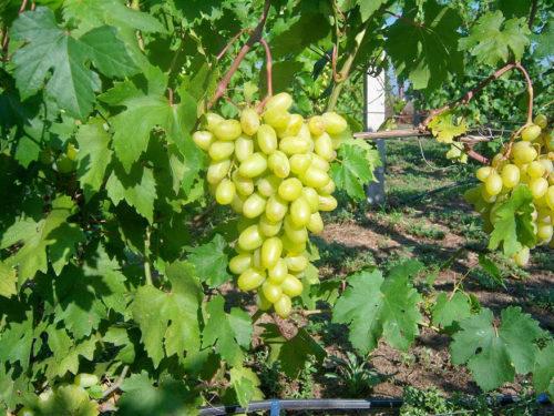 Кисть винограда Юбилей Новочеркасска и темно-зеленые листья