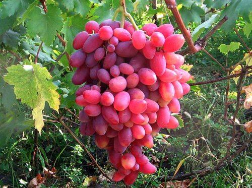 Гроздь винограда столового сорта Юбилей Новочеркасска от селекционера любителя