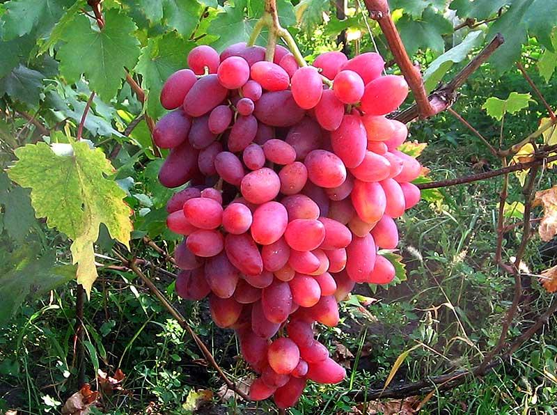 Виноград подарок херсонского дачника описание сорта